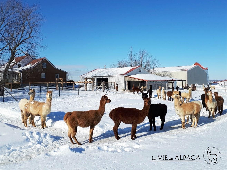 Alpagas dans la neige - La Vie en Alpaga